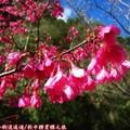 (061)新中橫-路邊停車場之山櫻花