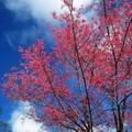 (067)新中橫-路邊停車場之山櫻花