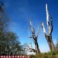 (070)新中橫-夫妻樹