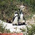 (002)南非開普敦-企鵝生態保護區之黑腳企鵝