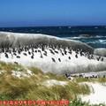 (003)南非開普敦-企鵝生態保護區之黑腳企鵝
