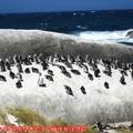 (004)南非開普敦-企鵝生態保護區之黑腳企鵝