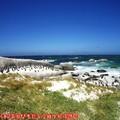 (005)南非開普敦-企鵝生態保護區之黑腳企鵝