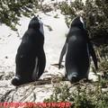 (011)南非開普敦-企鵝生態保護區之黑腳企鵝