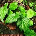 (101)滿月圓森林遊樂區-水鴨腳秋海棠
