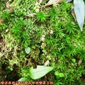(102)滿月圓森林遊樂區-苔蘚植物