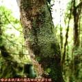 (105)太平山-翠峰湖環山步道之樹木附著地衣