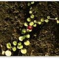 深紫色橢圓形的果實帶有常常的梗,極像小秤錘,又稱銅錘草。