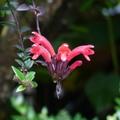 毛萼口紅花