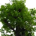 鵝掌楸(鬱金香樹)