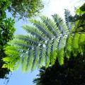 說筆筒樹像筆筒 倒不如說像光芒  綻放大地新希望 那是山中綠色光  已刊文章: 光芒燦爛筆筒樹