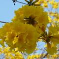 黃澄澄的黃花,絡繹繽紛, 漫步黃花下,心情好愉快!