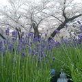 美麗櫻花是飄落凡間的仙子,散發自然清晰的芬芳,灑落大地綻放美麗,點綴這世界的美好!