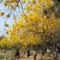 黃花風鈴木,又稱金風鈴、黃鐘木或伊蓓樹,紫葳科風鈴木屬金風鈴種,它的色彩是一種非常華麗的金黃色,春天開黃色的花。台灣在1969年引入栽植。