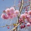 2015年阿里山櫻花季為3月10日至4月10日。嘉義縣阿里山森林遊樂區,櫻花樹總數約6000多,吉野櫻1900多株,山櫻花1780多株,重瓣八重櫻1000多株。
