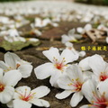 2014西湖渡假村五月雪桐花祭