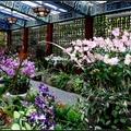 這次展出3個新品種: 大白紅心石斛蘭、水蜜桃石斛蘭、掐角石斛蘭。