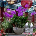 石斛蘭莖類似竹子有節,花朵形似蝴蝶蘭, 花瓣類型分為圓瓣、尖瓣與卷瓣系, 石斛屬蘭科中最大型的種類,原生種達1600種以上。