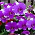 石斛蘭類強健耐旱、適應性強,體質強健、蟲害少, 不用特別照顧,有陽光就會開花,適合在高溫濕熱的台灣栽種。