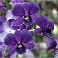 展出台灣育種少數具有香味的 香檳石斛蘭、紫精靈石斛蘭、綠色系品種維多利亞石斛蘭等