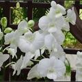大白石斛蘭