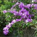 原產南美洲,性喜高溫有大蒜的氣味而得名,花串深淺粉紫高掛花架,如瀑布傾瀉而下。