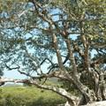 057 銀葉樹