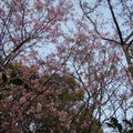 1020309-1 阿嬤菜園滴櫻花