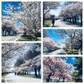 美國華盛頓特區的潮汐湖畔,春天時櫻花怒放,美不勝收!帶大家去湖畔賞櫻!