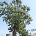 新竹市前溪社區公道五道路兩旁,種有不少苦楝。目前是北臺灣苦楝樹最密集的地方。 樹上的苦楝花已滿開,帶來陣陣幽香。即使是滿開,仍然不太起眼,苦楝真是低調極了,但仔細欣賞,還是能發現花開的美好。